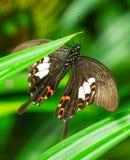 共同的摩门教蝴蝶在庭院里 库存照片