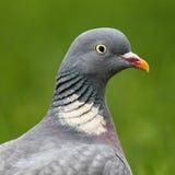 共同的斑尾林鸽(天鸽座Palumbus) 库存照片