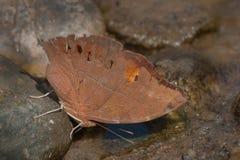 共同的晚上褐色蝴蝶 图库摄影