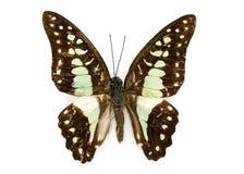 共同的杰伊蝴蝶dosan的Graphium的图象 库存图片