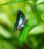共同的杰伊蝴蝶在一个绿色庭院里 库存照片