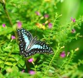 共同的杰伊蝴蝶在一个绿色庭院里 免版税库存图片