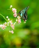 共同的杰伊蝴蝶在一个绿色庭院里 免版税库存照片