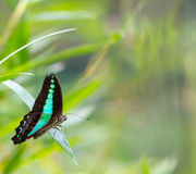 共同的杰伊蝴蝶在庭院里 免版税库存照片