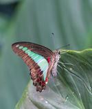 共同的杰伊蝴蝶在庭院里 库存图片