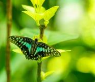 共同的杰伊蝴蝶在庭院里 库存照片