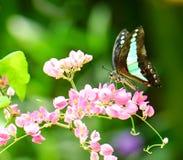 共同的杰伊蝴蝶在庭院里 免版税图库摄影