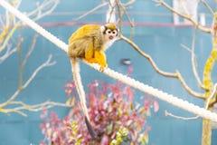 共同的松鼠猴子特写镜头  库存图片