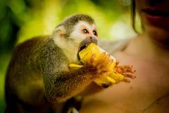 共同的松鼠猴子的特写镜头在亚马孙河密林的 吃 免版税库存图片