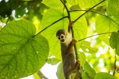 共同的松鼠猴子的特写镜头在亚马孙河密林的 免版税库存图片
