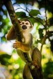 共同的松鼠猴子的特写镜头在亚马孙河密林的 库存照片