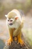共同的松鼠猴子(松鼠猴属sciureus)的特写镜头 库存照片