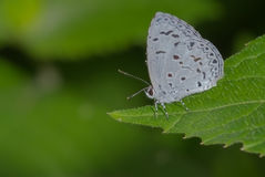 共同的树篱蓝色蝴蝶 免版税库存照片