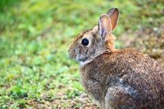 共同的棕色兔子坐草 库存图片