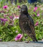 共同的椋鸟八哥类寻常走在庭院,桃红色花背景里 看您 选择聚焦 免版税库存图片