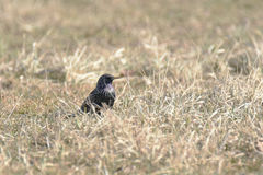 共同的椋鸟八哥类寻常在领域 库存图片