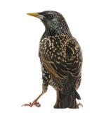 共同的椋鸟科的背面图,寻常的八哥类,被隔绝 免版税库存照片