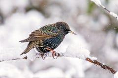 共同的椋鸟科-八哥类寻常在一个积雪的分支 库存图片