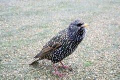 共同的椋鸟科& x28; 八哥类vulgaris& x29; 亦称欧洲椋鸟科或椋鸟科 免版税库存照片