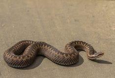共同的欧洲加法器,蝰蛇属berus的布朗女性,在土路在阳光下 免版税库存图片
