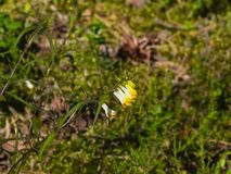 共同的母牛麦子Melampyrum pratense,开花特写镜头,选择聚焦,浅DOF 图库摄影