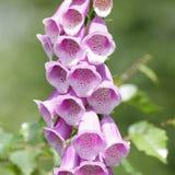 共同的毛地黄属植物 免版税库存图片