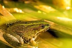 共同的水青蛙在池塘 库存图片