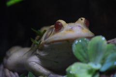 共同的池塘青蛙 库存照片