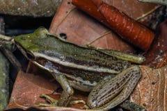 共同的池蛙特写镜头,绿色稻青蛙,蛙属erythraea 库存照片