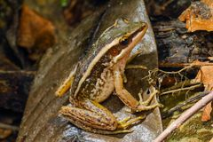 共同的池蛙特写镜头,绿色稻青蛙,蛙属erythraea 库存图片