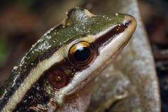 共同的池蛙特写镜头,绿色稻青蛙,蛙属erythraea 免版税图库摄影