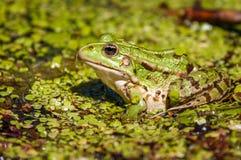 共同的沼泽青蛙 免版税库存照片