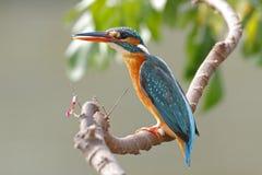 共同的泰国的翠鸟翠鸟属atthis母逗人喜爱的鸟 免版税库存图片