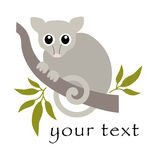 共同的浣熊负鼠-澳大利亚人 库存照片