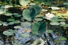 共同的浪端的白色泡沫风信花Eichhornia crassipes在池塘 也叫的KELADI旗布在马来西亚 库存图片