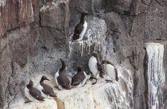 共同的海雀科的鸟 免版税图库摄影