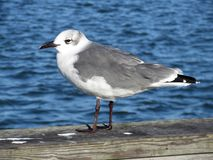 共同的海鸥在大洋城马里兰 图库摄影