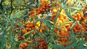 共同的海鼠李Hippophae rhamnoides、树和灌木果子轴承莓果,家庭胡颓子科的植物 股票视频