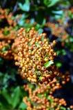共同的海鼠李Hippophae rhamnoides橙色花楸浆果  库存图片