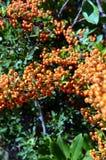 共同的海鼠李Hippophae rhamnoides橙色花楸浆果  免版税库存照片