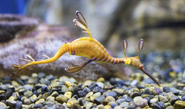 共同的海龙Phyllopteryx taeniolatus 库存图片