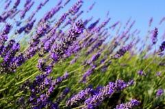 共同的淡紫色 免版税库存图片