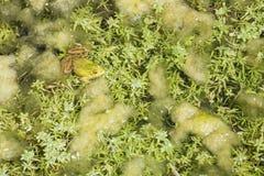 共同的漂浮在池塘的水池蛙 库存图片