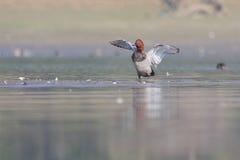 共同的潜鸭(Aythya ferina)。 免版税库存照片
