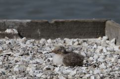 共同的燕鸥和螃蟹 库存照片