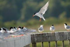 共同的燕鸥和螃蟹 免版税库存照片