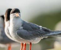 共同的燕鸥和螃蟹 免版税库存图片