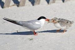 共同的燕鸥成人哺养的小鸡 免版税库存图片