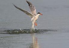 共同的燕鸥潜水在水中 免版税库存图片