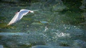 共同的燕鸥潜水到食物的海洋里 免版税库存图片